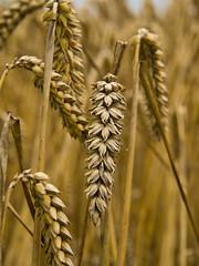 wheat (m.budde) Tags: food detail field fruit pen bread farm wheat olympus 100v10f weizen 14150mm flickraward platinumheartaward epl1 100commentgroup daarklands ringexcellence dblringexcellence tplringexcellence flickrstruereflection1 eltringexcellence