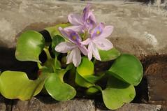 Dickstielige Wasserhyazinthe (Eichhornia crassipes); Bali, Ubud (49) (Chironius) Tags: flowers bali flower fleur indonesia blossom flor lila  fiore blte indonesien violett blten purpur eichhornia  pontederiaceae  commelinales commelinaartige commeliniden