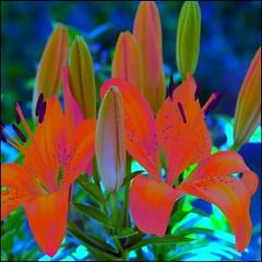 Para tí  BLANCA ROSA, deseándote mucha salud y que te mejores pronto. Besos - For you, wishing you good health and all the best. Kisses (Pilar Azaña Talán ) Tags: flores color luz canon lily abigfave 100commentgroup pilarazaña