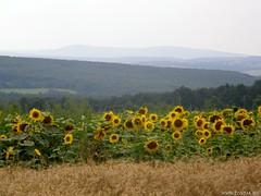 Tés határában (Égfigyelő) Tags: geotagged bakony napraforgó tés kilátás sp550 kőrishegy hegytető