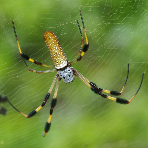 Golden-Silk Spider  Back by masaiwarrior