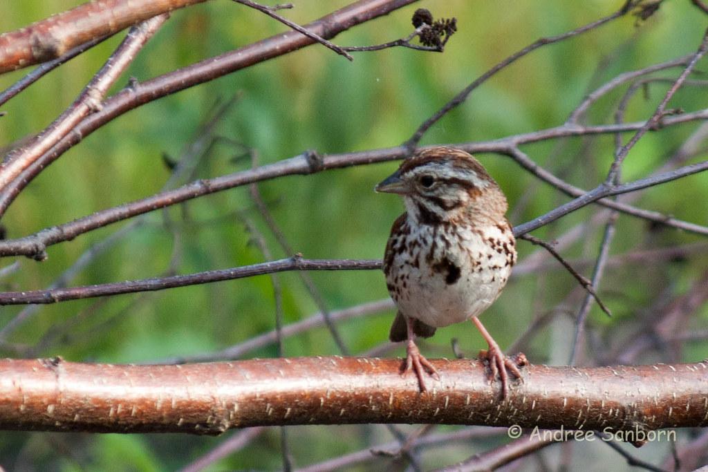 Song Sparrow (Melospiza melodia)-26.jpg