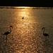 Flamingos duelo