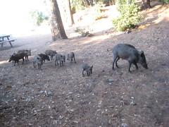 IMG_2456 (Egemen Akbudak) Tags: karasu millipark domuz güzelçamlı
