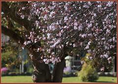Prunus Plum Blossom (fotograf1v2) Tags: garden blossom australia victoria garfield fruittree deciduoustrees latewinter prunusplumbtree