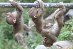 Three funny babies (Masashi Mochida) Tags: baby snow japan monkey three funny nagano jigokudani