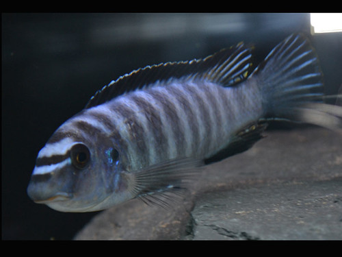 Labeotropheus trewavasae Higga Reef