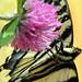 Swallowtail crops