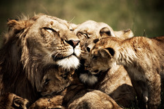 Family time. (randon) Tags: africa wild camp cub kenya wildlife lion safari lioness governors governorscamp