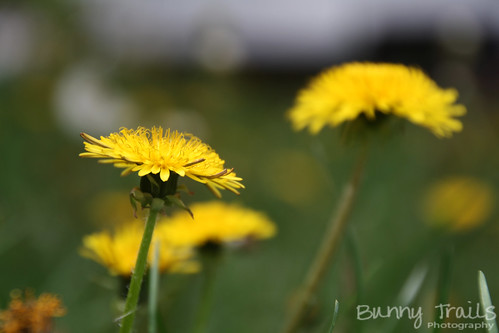 160-dandelions