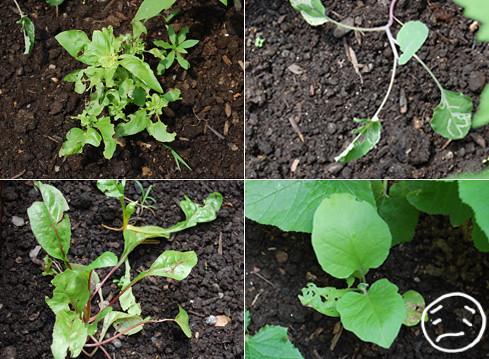 flea beetle damage eggplant basil swiss chard cauliflower