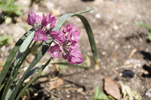 180-wild sweet onion