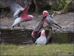 Galah  (Roseate Cockatoos) (Tatters:)) Tags: bird birds australia qld queensland galah cockatoos cacatuaroseicapilla eolophusroseicapillus cania eolophus cacatuidae eolophusroseicapilla caniacaravanpark caniagorgecaravanpark