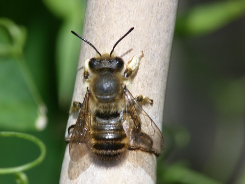Leaf Cutter Bee (Megachile centuncularis) by Peter Orchard