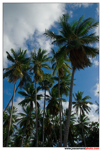 Coconut Palm Tree by joaoamaralphoto