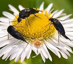 Pintail Beetles And Crab Spider (aeschylus18917) Tags: danielruyle aeschylus18917 danruyle druyle ダニエルルール ダニエル ルール japan 日本 nikon d700 nature macro 105mmf28gvrmicro 105mmf28 nikkor105mmf28gvrmicro nikond700 saitamaprefecture 埼玉県 hannō 飯能市 beetle flowerbeetle coleoptera polyphaga cucujiformia mordellidae mordellistena mordellistenacomes クロヒメハナノミ blackflowerflea tumblingflowerbeetle pintailbeetles spider crabspider arachnida araneae thomisoidea thomisidae misumenops カニグモ flowerspider ハナグモ misumenopstricuspidatus insect 甲虫 兜虫 カブトムシ arachnid クモ 蜘蛛 105mm pxt