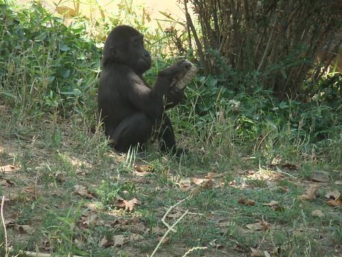 Baby Gorilla by aviva_hadas