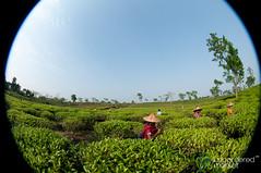 Fisheye View of Tea Pickers - Srimongal, Bangladesh (uncorneredmarket) Tags: people tea bangladesh teagardens teaestates manuallabor srimongal teaplantations ruralbangladesh teapickers sylhetdivision sreemangal