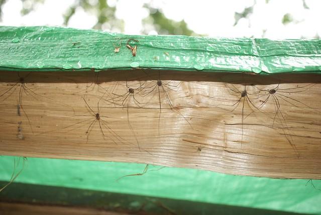 DSC_8215 Harvestman spider