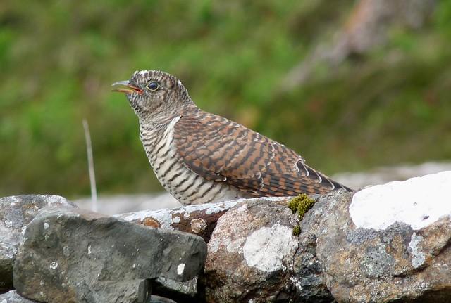 24523 - Cuckoo, Isle of Mull