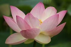Parc Floral de Vincennes 071 (MUMU.09) Tags: photo foto lotus flor  bild blume fiore  imagem     flori       fiorediloto hoasen parcfloraldevincennes flordeloto  lotusblomma floweroflotus   lotosblume fleurdelotus     ltuszvirg kwiatlotosu  lotusblomst lotusblth lotusblm   lotosovkvt lotusiei mumu09