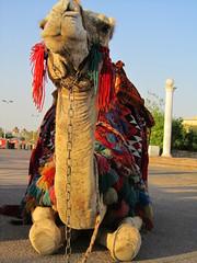 Camel, Egypt (__Zero) Tags: red animal egypt camel naamabay sharmelshiekh