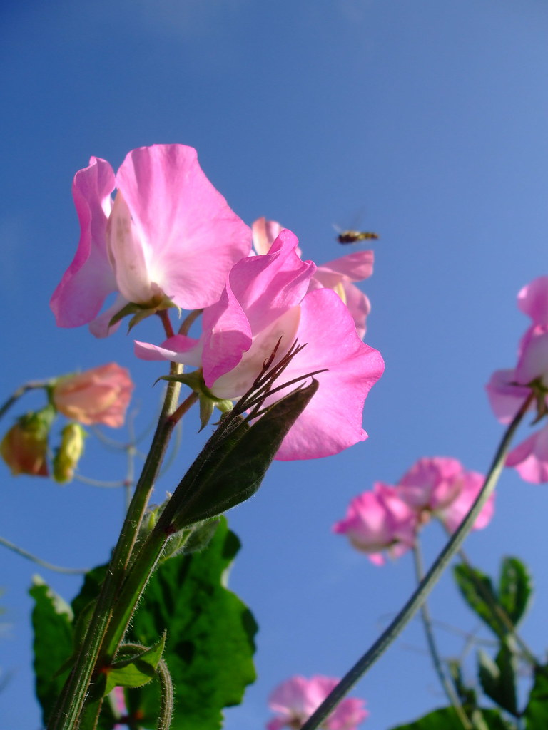 ~*Sweet Pea Pink*~