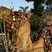 Camelos imponentes!