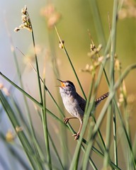 Marsh Wren (m_Summers) Tags: bird nature reeds utah northernutah singing song wildlife wetlands wren marshwren bearriver canon400mmf56 canon60d bearrivermigratorybirdrufuge