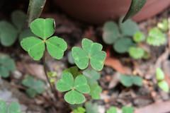 Irish in Mxico (Jos Ramn de Lothlrien) Tags: irish green mexico hojas jr suerte trebol humedad treboles producciones lluvias malesa irishluck
