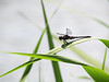 Resting Dragonfly A photo of