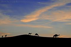 Silhouette Camels (TARIQ-M) Tags: canon400d canonefs18200mmf3556is riyadh saudiarabia desert sand texture waves dunes landscape silhouette camels camel cloud sky sunset                           mygearandme