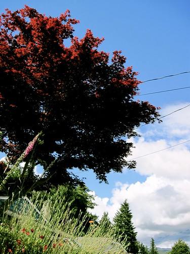 Maple Tree, Sechelt BC