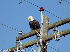 Bir-00014.jpg (SeaDog Publications) Tags: bird lines birds power eagle symbol baldeagle beak bald electrocution powerlines national shock prey endangered electrical mighty hazardous hazard transmission birdsofprey birdofprey shocking hooked accipitridae nationalsymbol electricalhazard hookedbeak powertransmissionlines