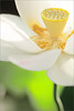 Lotus Flower - IMG_2911 (Bahman Farzad) Tags: flower macro yoga peace lotus relaxing peaceful meditation therapy lotusflower lotuspetal lotuspetals lotusflowerpetals lotusflowerpetal
