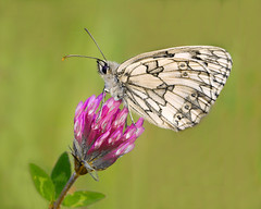 Marbled White Butterfly (Andrew H Wildlife Images) Tags: nature butterfly rugby wildlife warwickshire marbledwhite draycotemeadows ajh2008