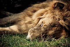 The Lion Sleeps Tonight (randon) Tags: africa camp cat kenya lion mara masai governors masaimara governorscamp