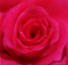 A Dreamy Rose...... (aroon_kalandy) Tags: pink macro beauty rose flare stacking tamron calicut photoscape aroonkalandy