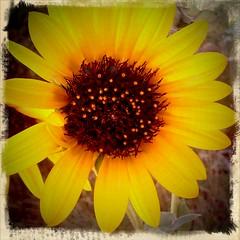 happy flower nugget