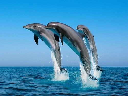 フリー写真素材, 動物, 哺乳類, イルカ, 跳ぶ・ジャンプ,