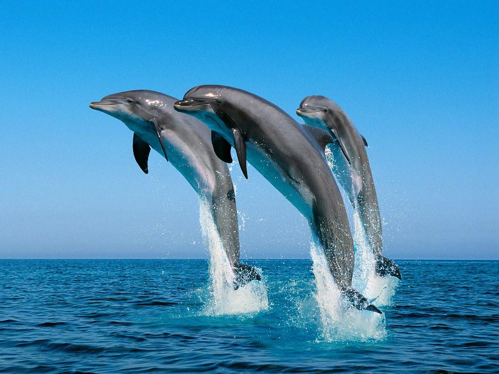 [フリー画像] 動物, 哺乳類, イルカ, 跳ぶ・ジャンプ, 20110... 著者:anike