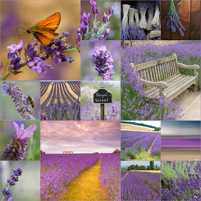Lavender flavour. 16 wonderful photos I love!