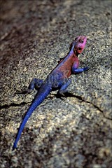 10006830 (wolfgangkaehler) Tags: africa animal tanzania colorful reptile african wildlife lizard serengeti grassland plain rockformations rockformation kopje sunning agama agamalizard africanplains serengetitanzania colorfullizard colorfulanimal