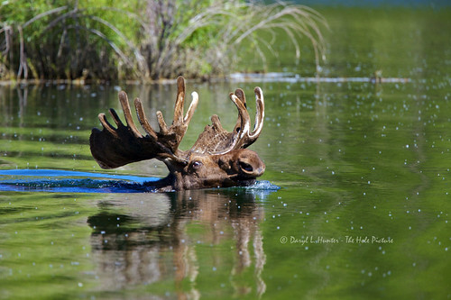 Swimming Bull Moose