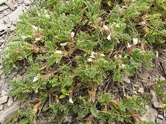 Astragale toujours vert=Astragalus semperviroens - Col des Aravis 032