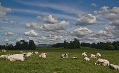 Dinefwr Park with its White Park Cattle (EionaR. [busier than ever]) Tags: wales carmarthenshire nationaltrust wfc dinefwrcastle