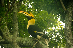 Horn-billed Toucan in the Wild
