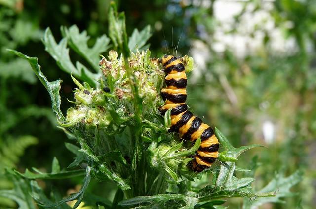 24698 - Cinnabar Moth Caterpillar, Garden