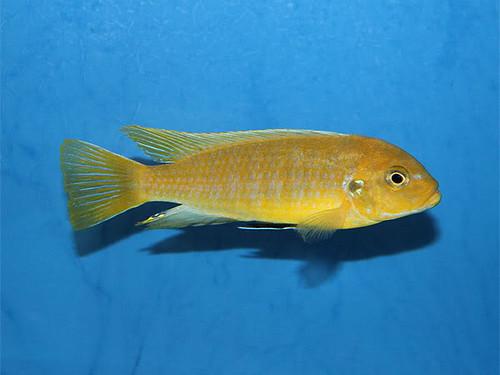 Pseudotropheus sp. 'kingsizei lupingu' Lupingu
