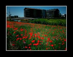 Landschap (Theo Kelderman) Tags: holland netherlands nederland brug bloemen hoofddorp landschap woningen haarlemmermeer overbos 2011 klaprozen theokeldermanphotography